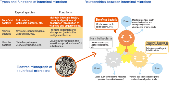 Types and functions of intestinal microbes  Relationships between intestinal microbes